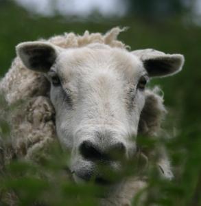 Jill's sheep